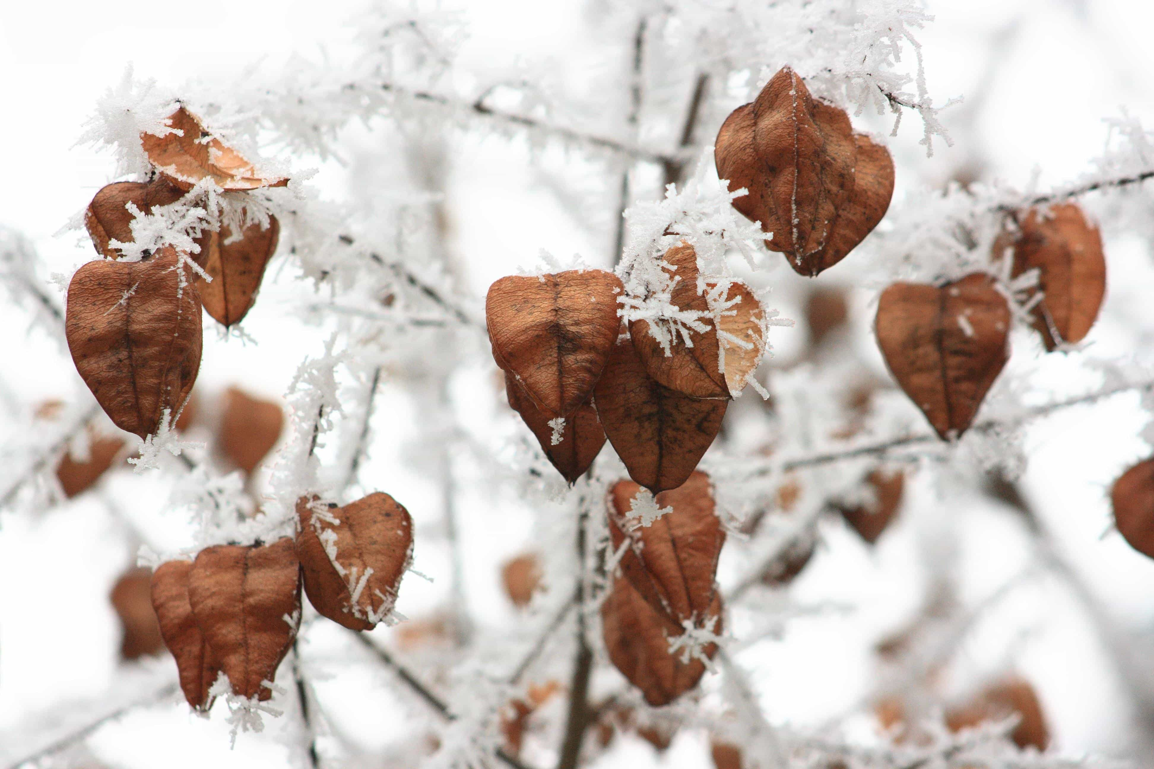 Dried brown seedpods on icy limbs, evoking the possibility of new life even in the middle of winter.