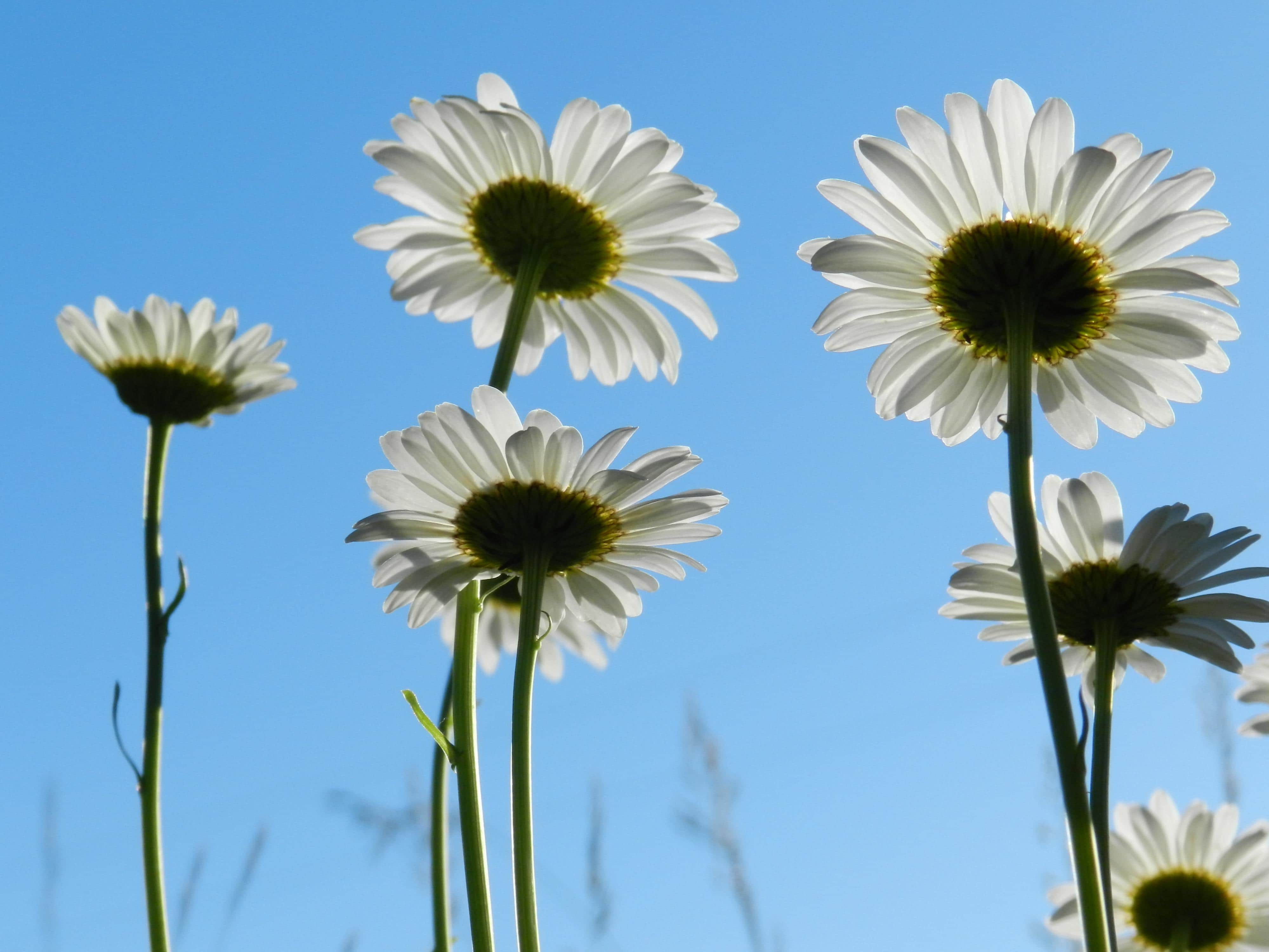 White daisies against a bright blue sky