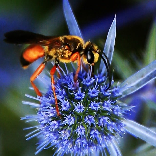 Image Alt-Text: Close-up photograph of a wasp on a blue flower. Image via Laura Collins Britton, lcbritton.com.