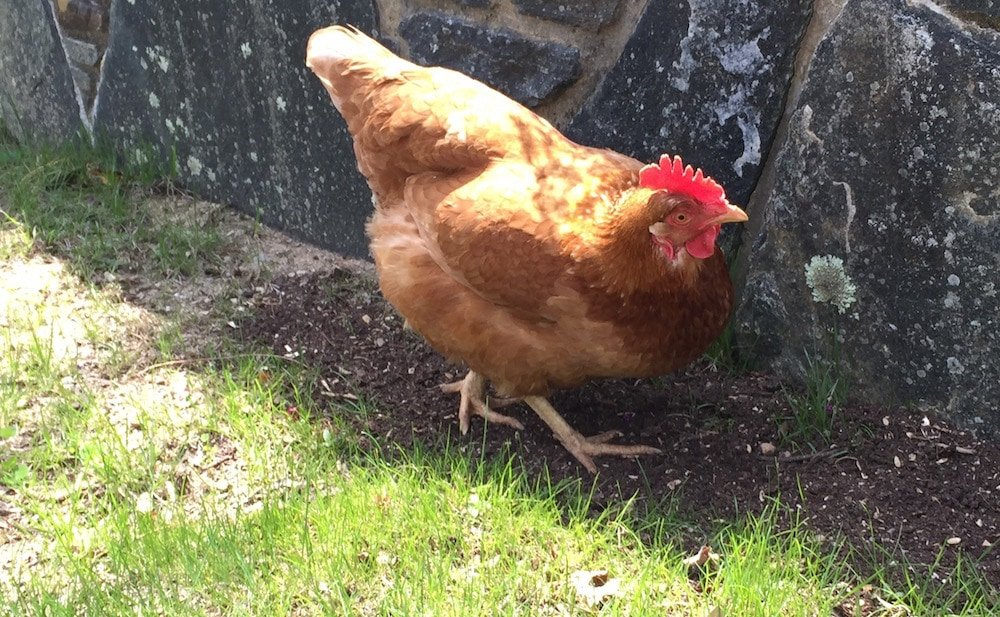 A photograph of a brown chicken by the side of the road standing in the grass by a stone retaining wall