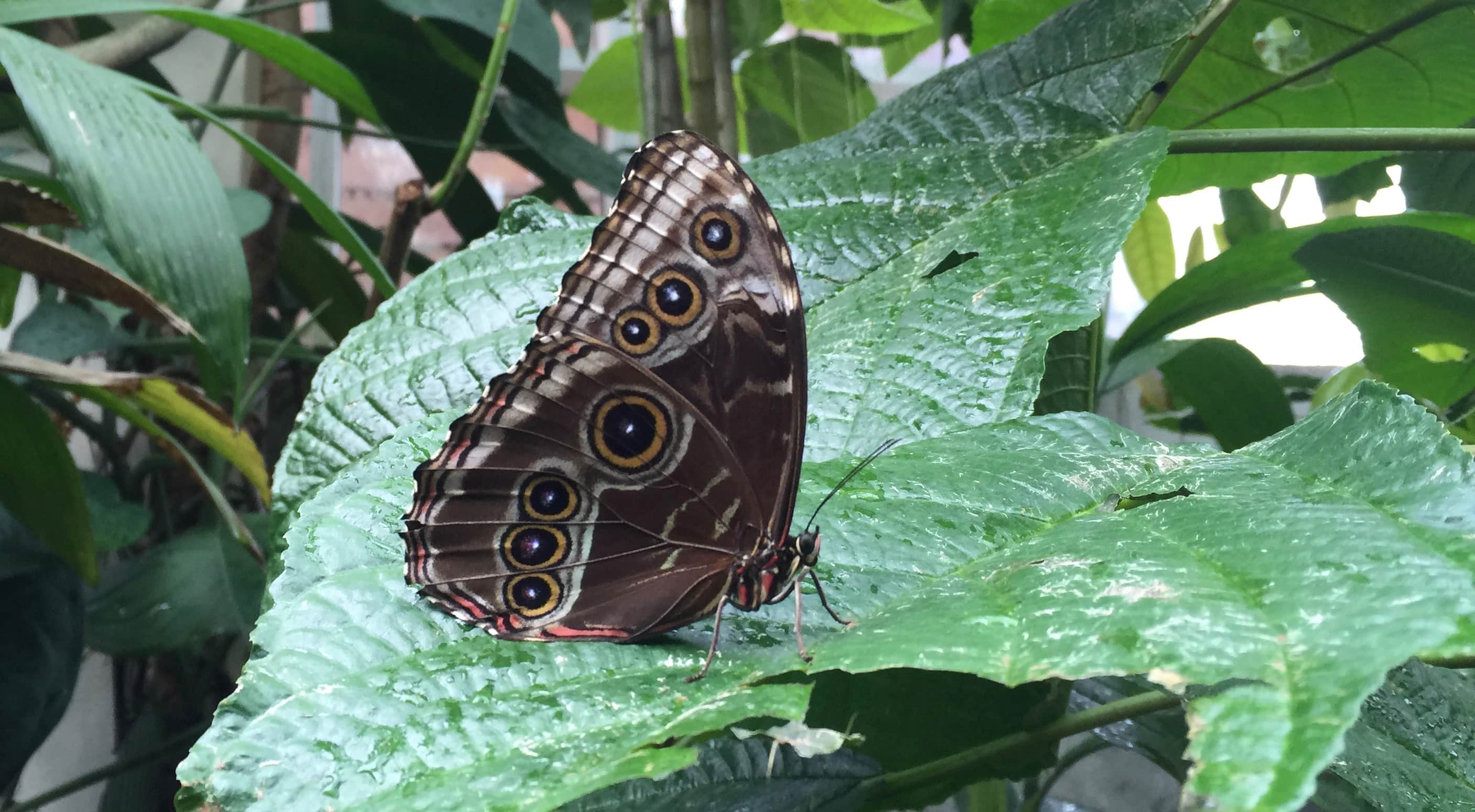 A photograph of a large brown moth on a large green leaf. The moth's wing has seven large dots on it that look like eyes. This moth, like many people with disabilities, is a master of disguise.
