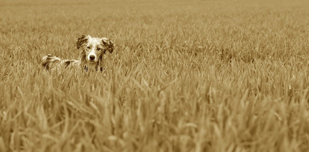 Image Alt Text: Sepia toned photograph of a small dog in a grassy field.