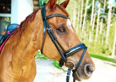 A portrait of Leroy in a black bridle with patent leather and crystals.